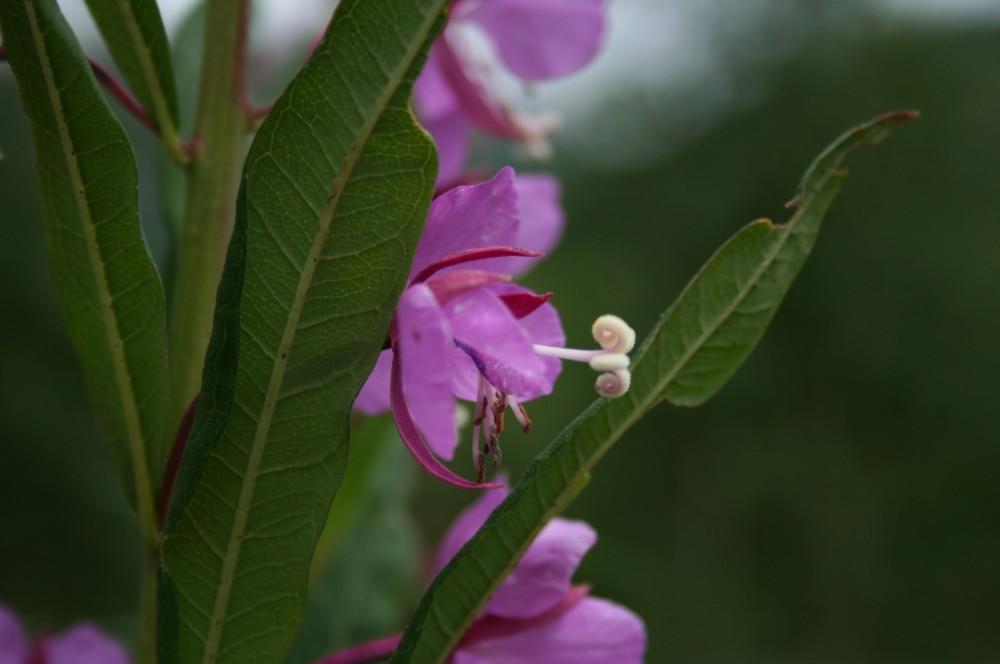 Chamerion angustifolium, female phase